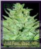 Emerald Triangle Headlights Kush Auto Fem 5 Seeds